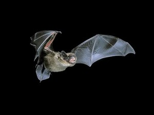 Serotine (Hugh Clarke & the Bat Conservation Trust)